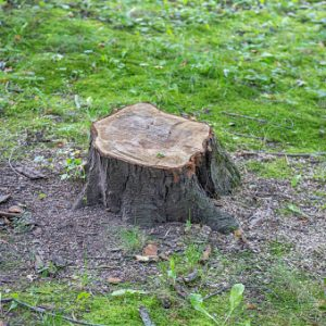 Huge wooden stump of deciduous tree on a summer day
